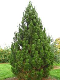 Retail Christmas Trees Mapa Trees Carlisle